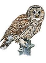Owl.3